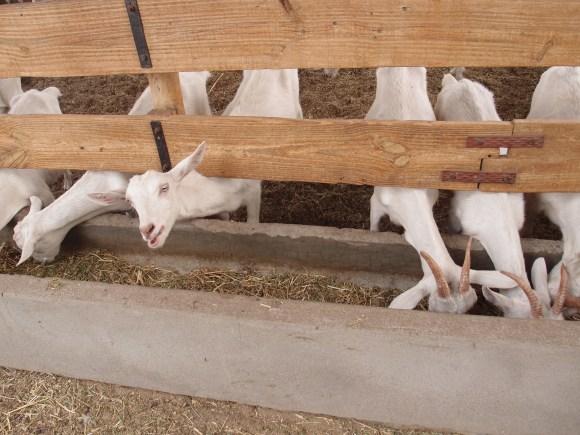 Goats at Cabras de Cafayate